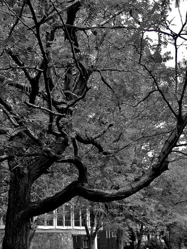 Denver Tree fx
